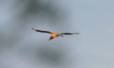 Tujujú cuartelero (Jabiru mycteria). Es la cigüeña voladora de mayor envergadura en el país. Inconfundible. Su robusto pico, largas patas y cuello negros, contrastan con su garganta roja, que adquiere un color más intenso en la madurez y durante la temporada reproductiva.