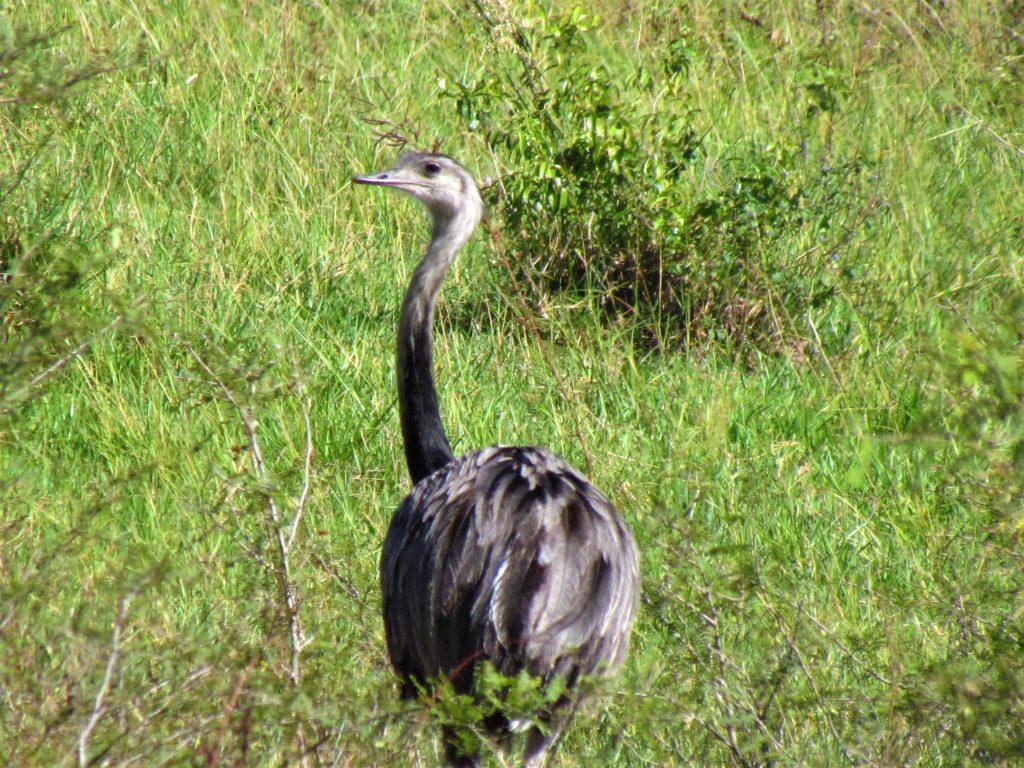 Ñandú (Rhea americana). Es la única ave no voladora y de mayor tamaño (1,50 m) que ocurre en Paraguay. Es común verla en grupos de varios individuos en los pastizales del país.