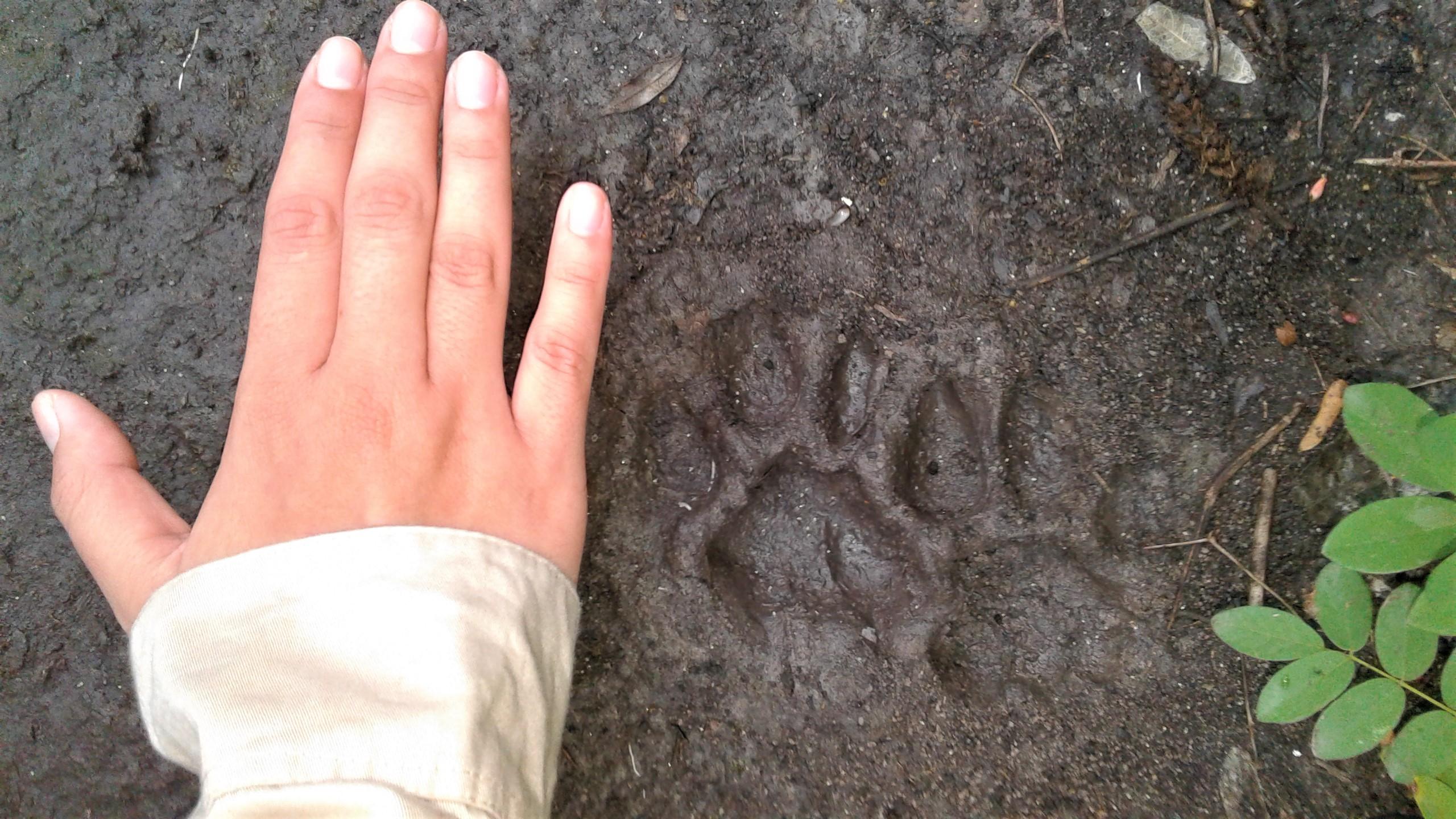 Puma (Puma concolor). Es el segundo felino más grande, y relativamente común, que ocurre en Paraguay, después del Jaguareté. Foto: Rebeca Irala