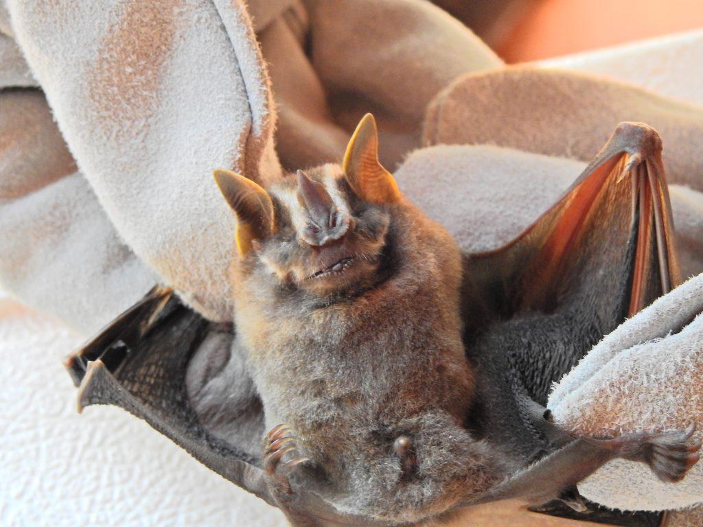 Falso vampiro listado (Platyrrhinus lineatus).. Foto: Alberto Yanosky.