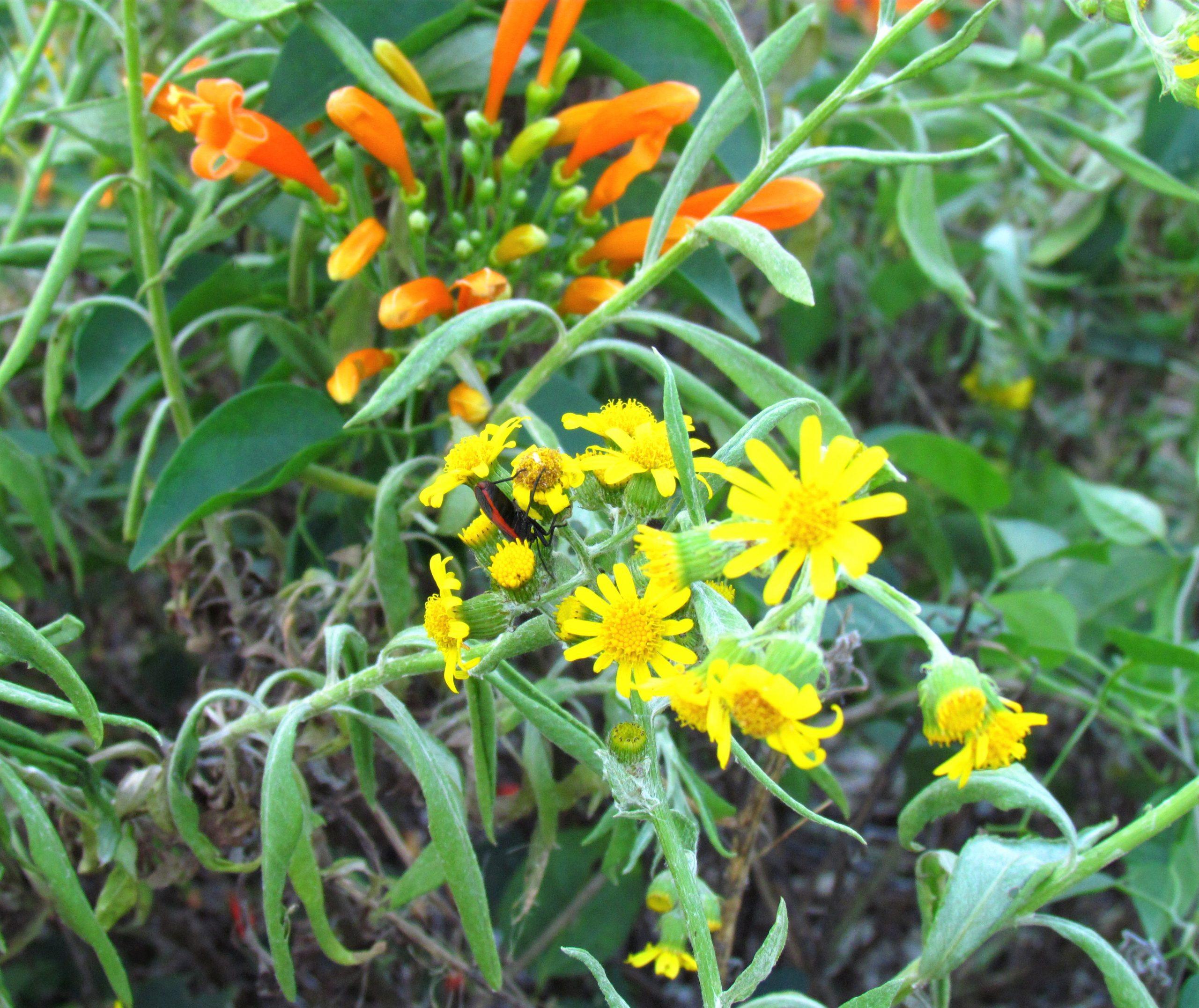 Agosto poty (Senecio grisebachii). De origen nativo. Su floración amarilla al final del invierno no pasa desapercibida en los campos naturales del país. Foto: Rebeca Irala.