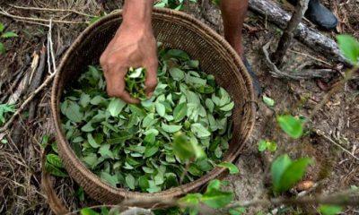 Cultivo de coca en Colombia. Foto: radionica.com