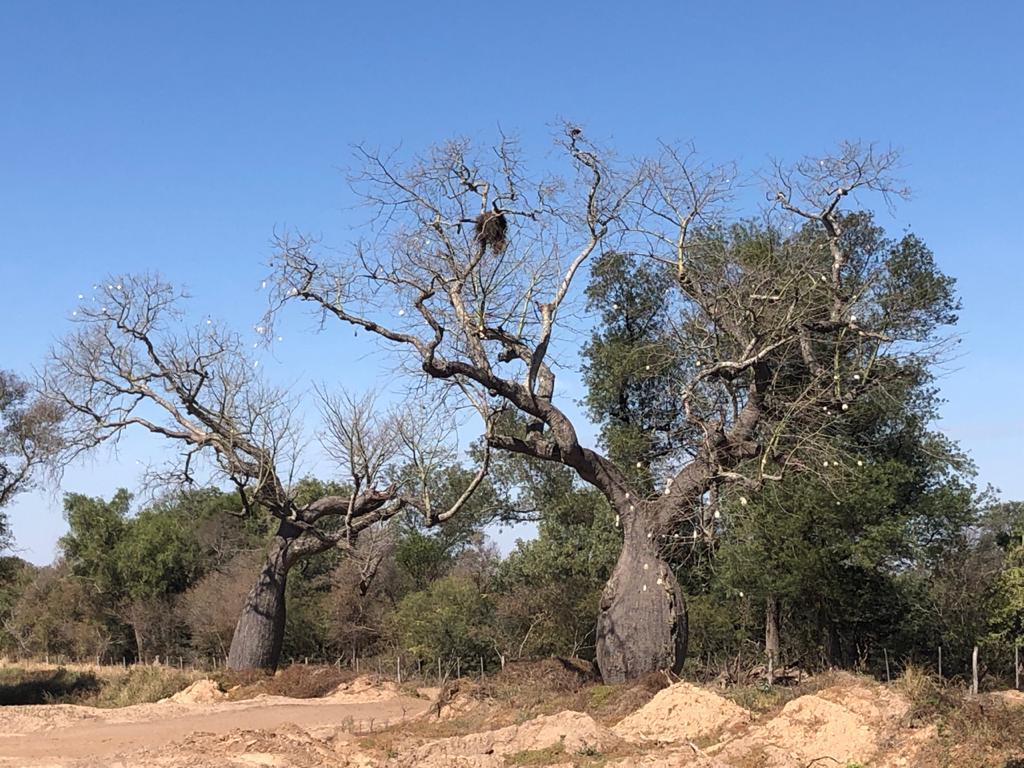 Este es el famoso samu'u o samohú, también conocido como palo borracho o palo botella, y que muchos que no lo conocen lo asocian con el enigmático baobab de Madagascar. Fotos: Alberto Yanosky.