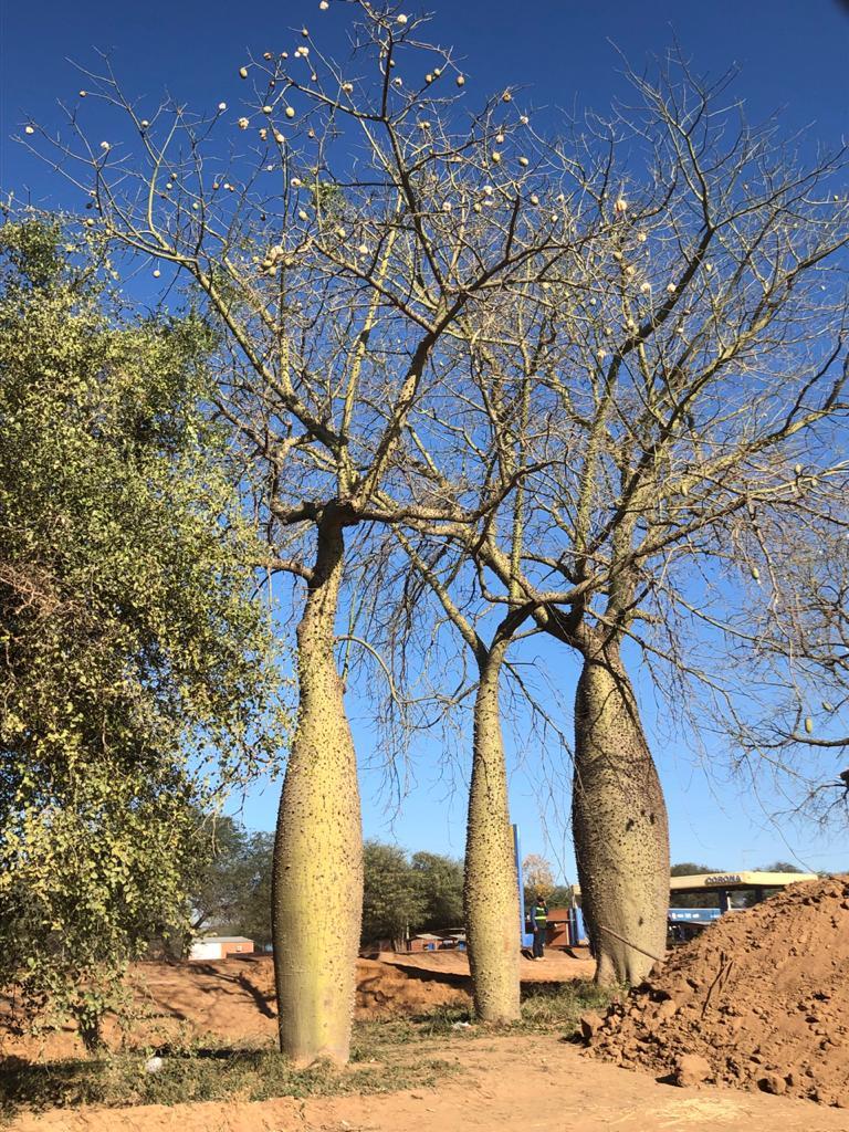 """El samu´û es el que más llama la atención en el Chaco, por lo ensanchado de su tronco o """"panza"""". Fotos: Alberto Yanosky."""
